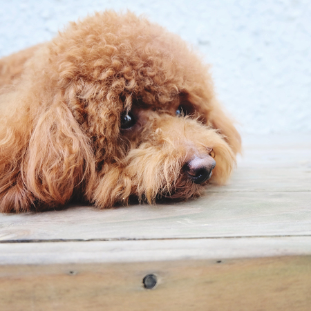 purebreed: Miniature poodle laying on wooden floor