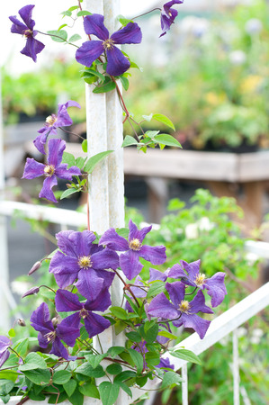 Prodigious purple clematis flower.