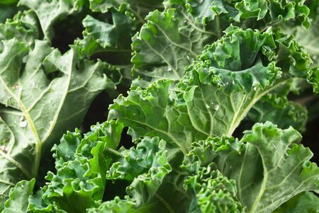 Fresh raw kale with waterdrops.