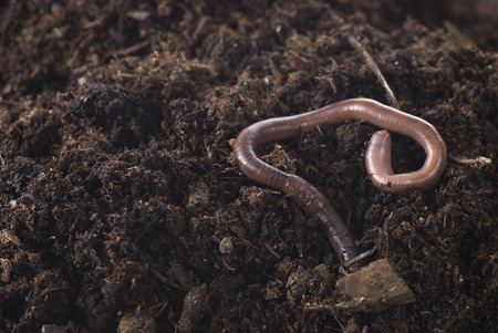 Earthworm in soil close up. Stock Photo