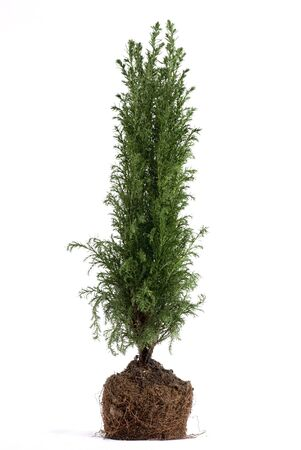 juniper tree: Juniper tree plant with roots. White background.