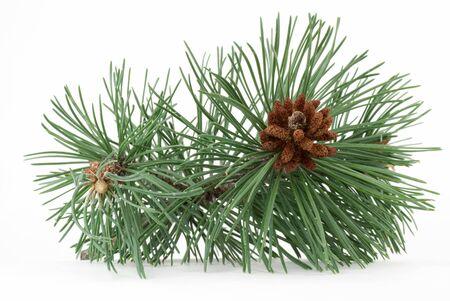 Pine tak met con op een witte achtergrond.