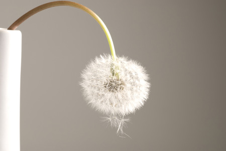 Fluffy dandelion seed ball.  Background.