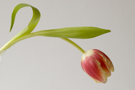 impotence: Single Tulip on light grey background.