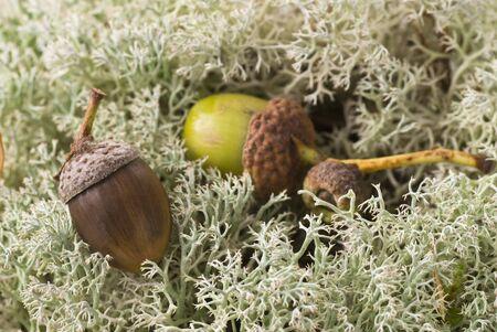 acorns: Acorns in moss. Stock Photo
