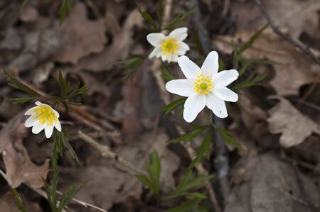 withered: Forest anemones among the withered leaves this cloudy spring day. Stock Photo
