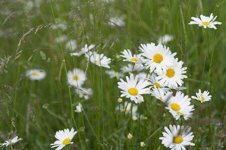 daisys: Meadow flowers in a field.