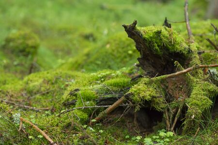 is covered: Moss covered branches in the forest. Stock Photo