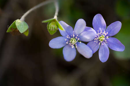 Blue anemone  with buds in the forest. Stock Photo
