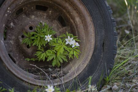 Anemones growing in a rusty old car tire. Stock Photo