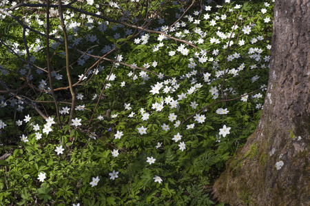 White anemones in the forest. Stock Photo