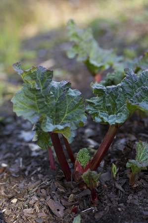 rhubarb: Rhubarb plant that just came up.