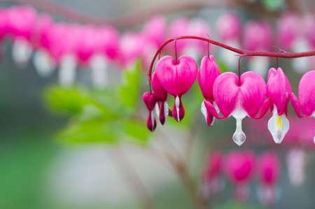 bleeding: Bleeding Heart flower plant