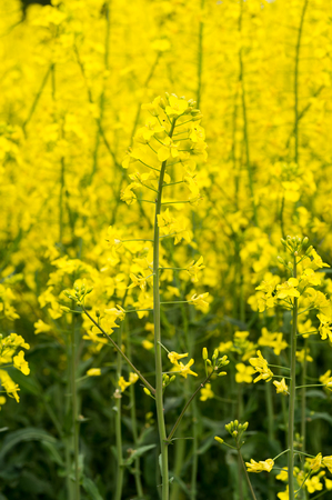 Oilseed field background.
