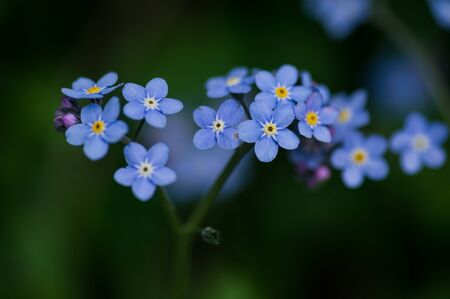 Forget-me-not flowers background. 版權商用圖片