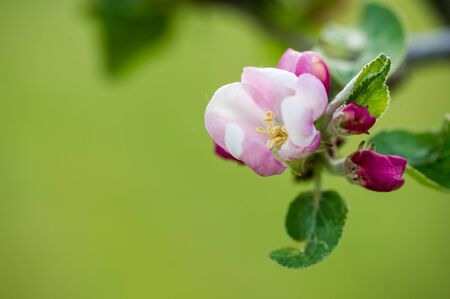 Apple blossom close up background