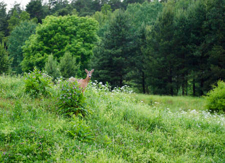 swedish: A roe deer in the Swedish forest. Stock Photo