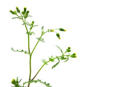Dandelion shot isolated on white Stock Photo - 7042540