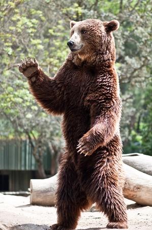 Bruine beer opstaan en zeggen gedag Stockfoto