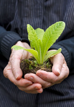 aiding: Elderly woman hands holding young plant
