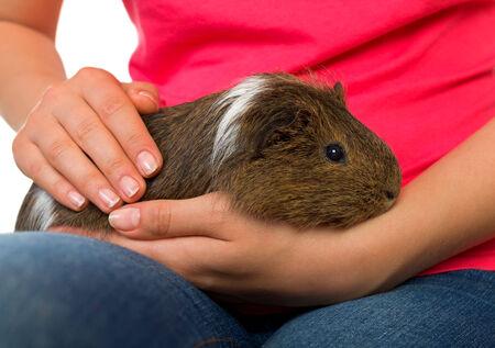caresses: Woman hand holding a beautiful guinea pig