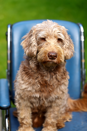 dog wheelchair: Picture of an injured  dog sitting in wheelchair Stock Photo