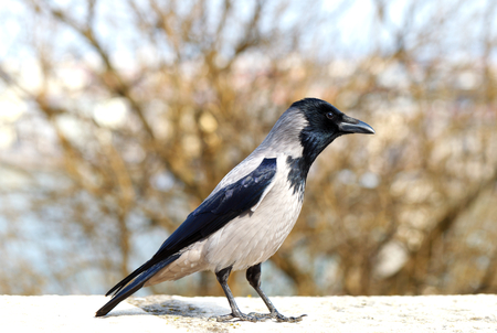 Picture of a beautiful young medium sized crow