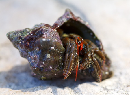 Photo of a empty seashell carried by the hermit crab