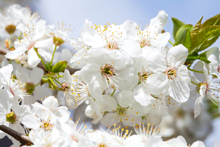 Close up picture of beautiful spring blossom - blooming apple trees in the garden outdoor Stock Photo