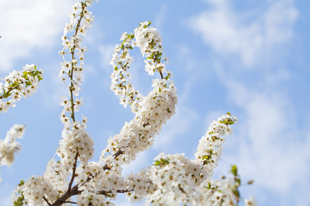 Picture of beautiful spring blossom and the blue sky - apple trees in the garden Stock Photo