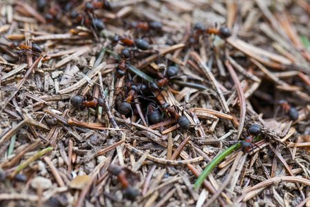 Close up picture of ants colony and their nest outdoor, springtime