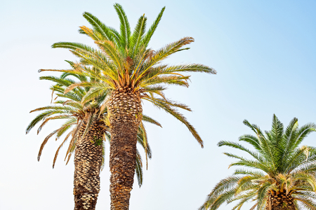 Beautiful vivid palm trees on the dalmatian coastline in Split, Croatia Stock Photo