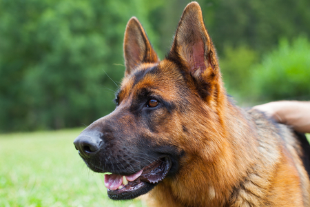 Picture of a beautiful  german shepherd lying on the grass