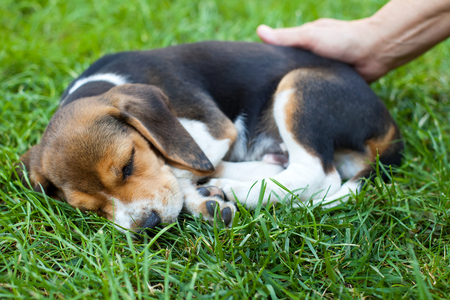 Cute little beagle puppy sleeping, owner's hand touching him with love