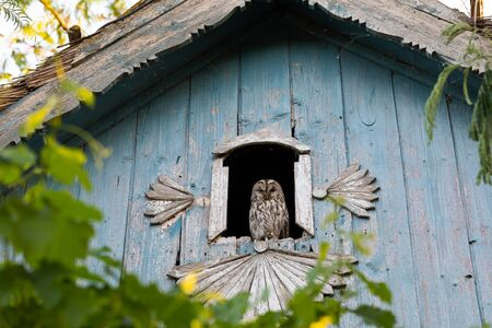 Mysterious owl sitting on an old house window-frame , looking to the camera 写真素材