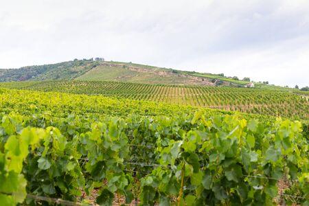 Peautiful picture of vineyards of Tokaj, Hungary 版權商用圖片