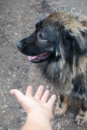 Picture of a  Caucasian Shepherd Dog on chain near his kenel