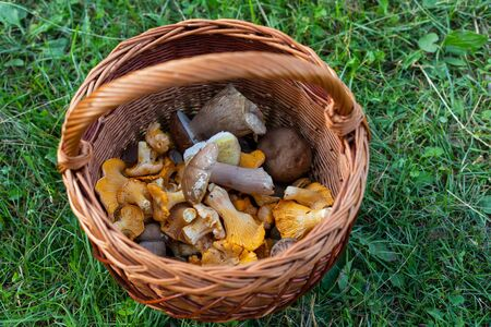 Gathered wild mushroom in a wooden basket on the grass