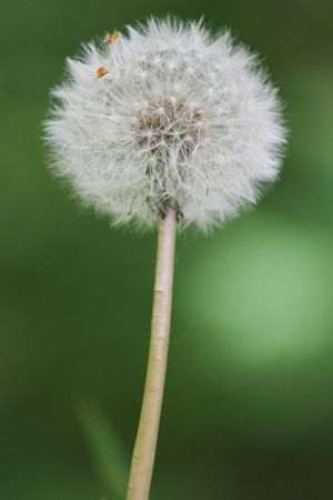 breakable: A close-up of a dandelion with blurred background.