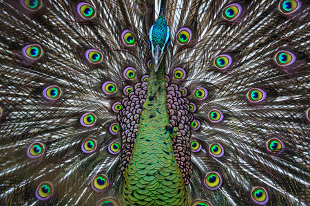 courtship: A peacock displaying its feathers like a pattern Stock Photo