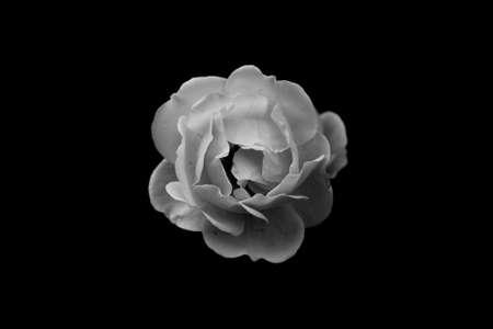 single rose close up on a black background