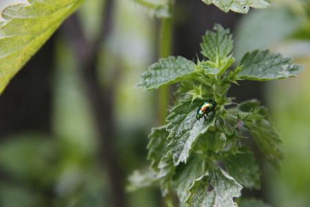 Ladybug with metalic effect on green leaf
