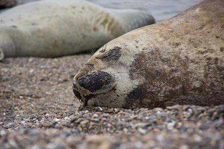 Sea dog sleeping on beach in South America