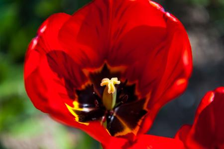 Red big open tulip in the garden