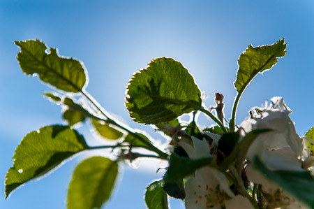 Green tree leaves and blue sky with back light