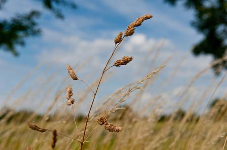 Wheat isolated on blue sky
