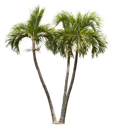 diecut: betel palm tree isolated on white Stock Photo