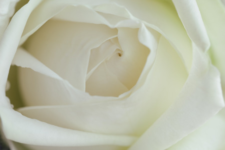 Beautiful white roses in close up view macro concept to present rose texture and pattern for background. Luxury romantic gift on Valentine's day. White rose is the symbol of true love and pure love. Zdjęcie Seryjne