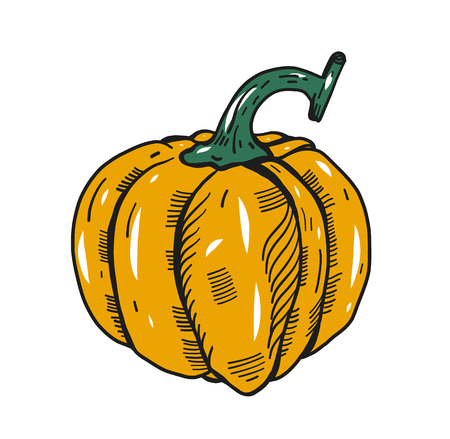 Pumpkin. Hand drawn vector illustration. Sketch. Isolated on white background. For Halloween or Thanksgiving.