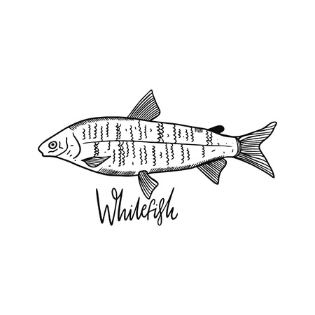 Whitefish. Hand drawn vector illustration. Engraving style. Isolated on white background. Design for seafood market, package, poster, banner, t-shirt